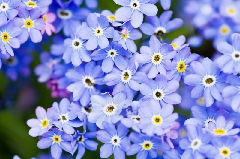 Vienmetės ir daugiametės gėlės: kurias pasirinkti?
