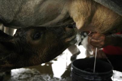 340 mln. eurų mokesčių už viršytas pieno kvotas