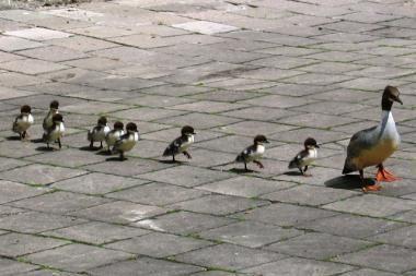 Universiteto kiemelyje svečiavosi antis su ančiukais