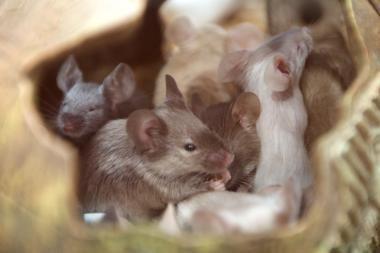 Pelių patinėliai serenadas gieda ultragarsu