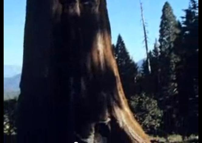 Medžiai-titanai: sekvojų pusbroliai didieji mamutmedžiai