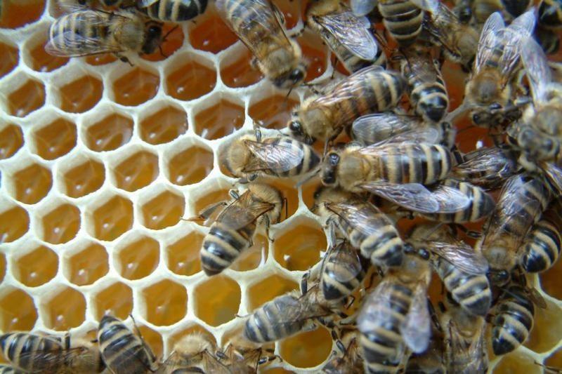 Mokslininkai: bitės tobulą korio akelių formą išgauna tirpdydamos vašką