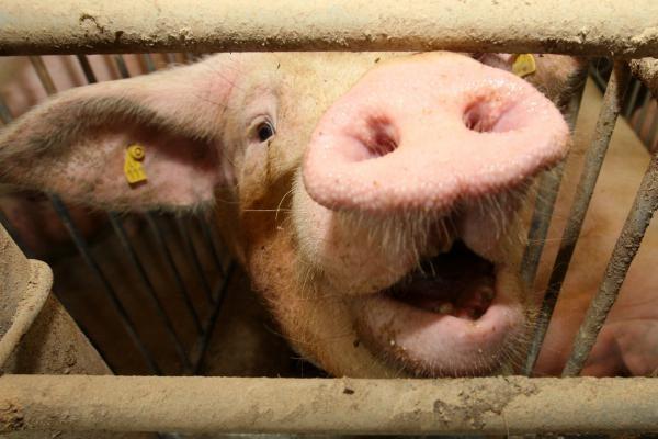 Dėl kiaulininkystės ūkių kreipiasi į Europos teisingumo teismą