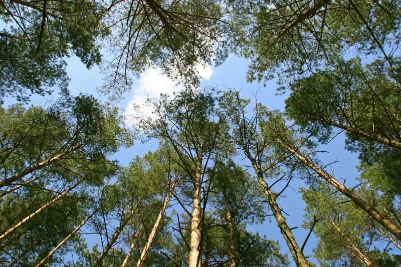 Nesutaria dėl tako Anykščių šilelio medžių viršūnėmis