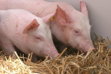 Į Lietuvą atėję šalčiai pristabdė lietuviškų kiaulių eksportą