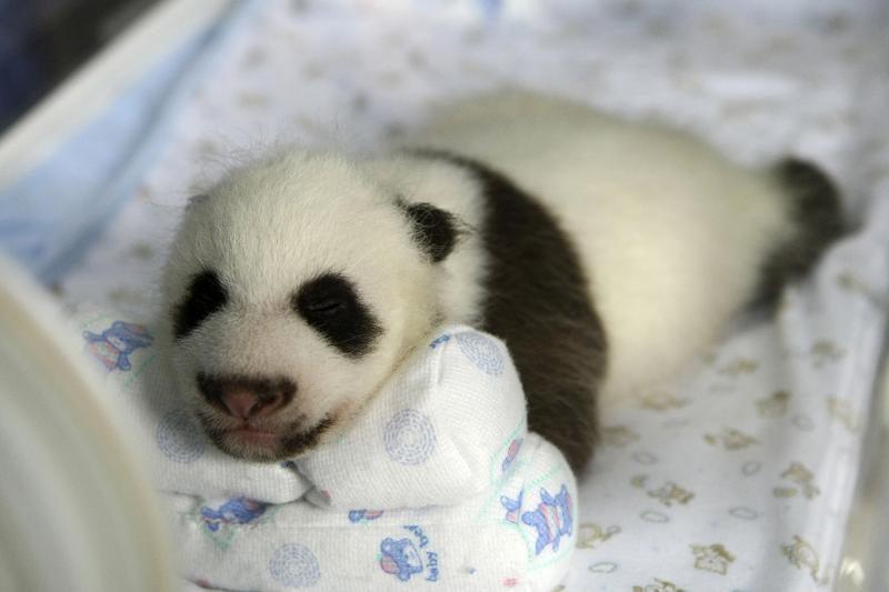 San Diego zoologijos sode pasaulį išvydo pandos jauniklis