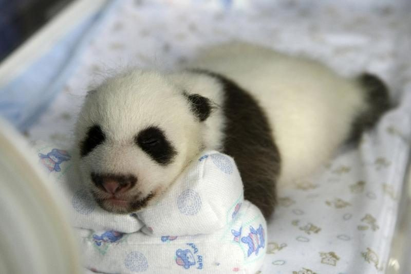 Nugaišo Tokijo zoologijos sode gimęs didžiosios pandos jauniklis