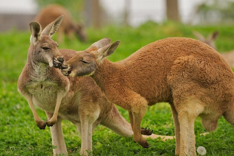 Atšaukė planuotą bokso turnyrą tarp klouno ir kengūros