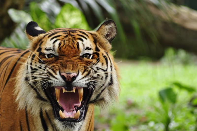 Vokietijos zoologijos sode tigras sudraskė prižiūrėtoją