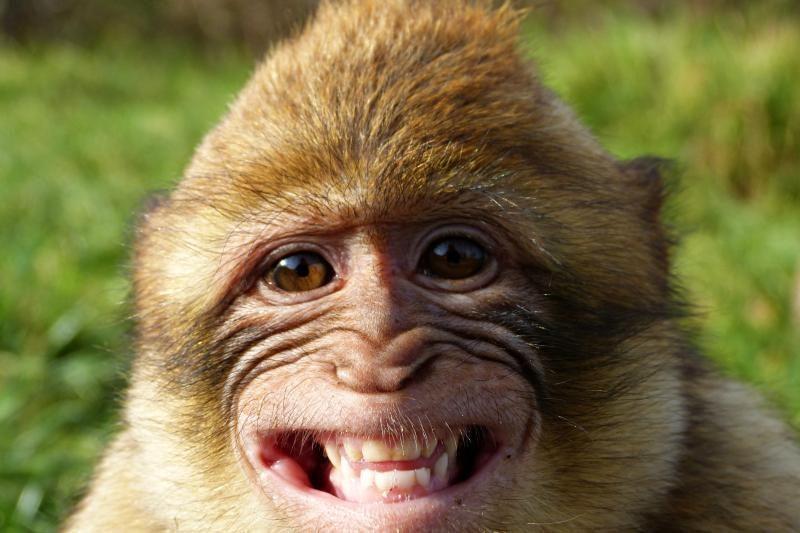 Įspūdingoje šventėje linksminasi ne žmonės, o beždžionės