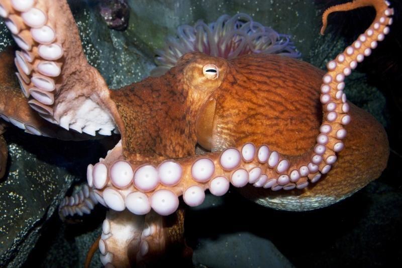 Milžiniškų aštuonkojų akys padeda apsisaugoti nuo banginių