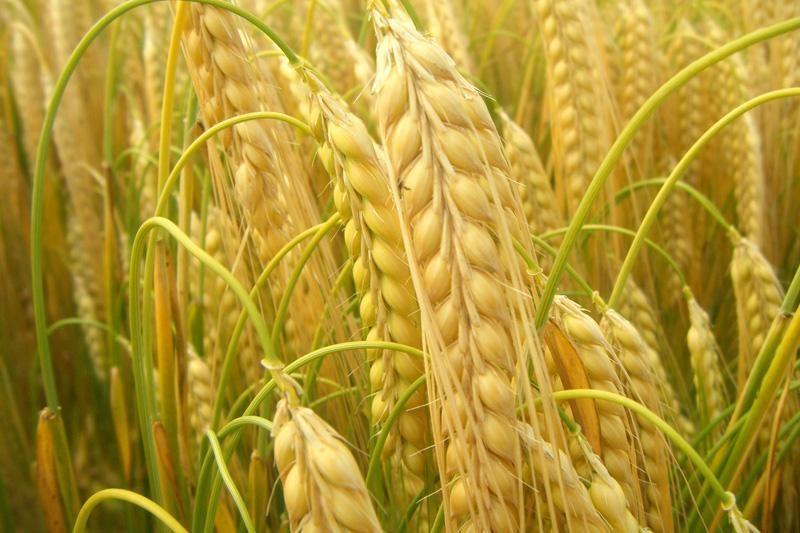 Naujojo derliaus grūdai brangsta, kils maisto kainos