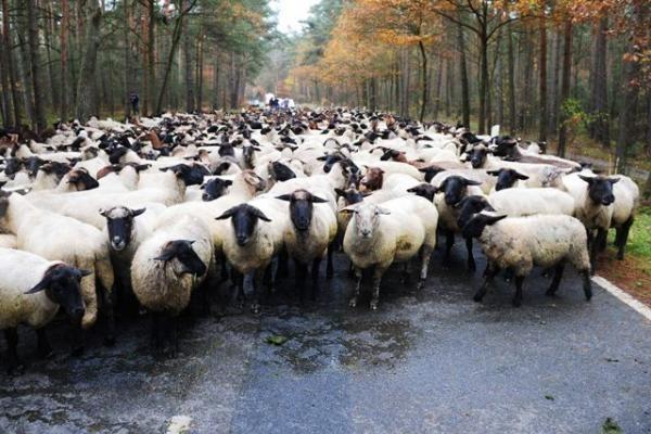 """Atsargiai – pavojų kelia avių """"ciklonai"""""""