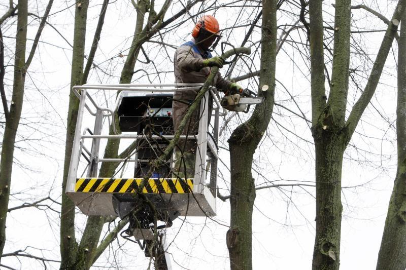 Klaipėdoje intensyviai vykdomi medžių genėjimo darbai