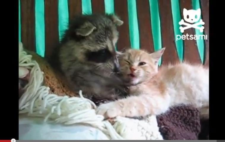 Savaitės vaizdelis: neįtikėta meškėno ir kačiuko draugystė