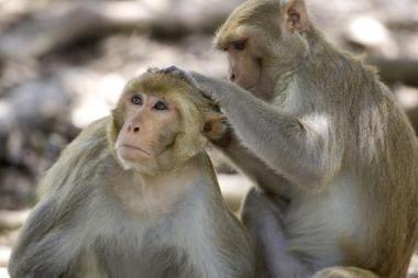 Ką daryti, kai puola beždžionės?