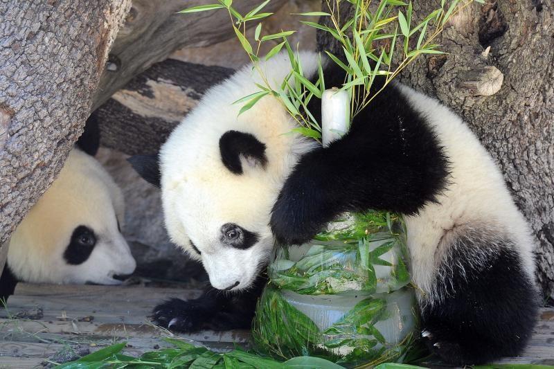 Taivane atvesta didžiosios pandos jauniklė praleido pirmąją naktį su motina