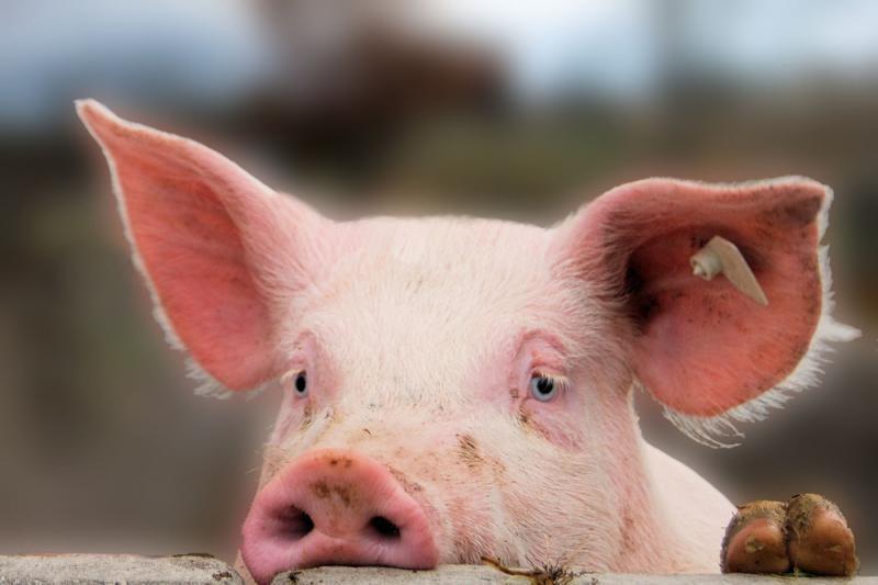 Klaipėdos rajone iš tvarto pavogta gyva kiaulė