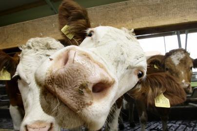 Pieno ūkiuose melžėjas keičia robotai