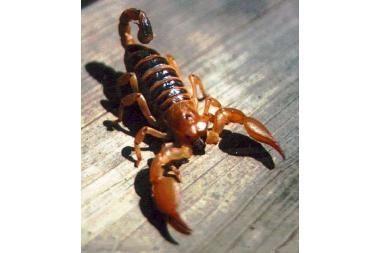 Ką skorpionas turi bendra su elektra?