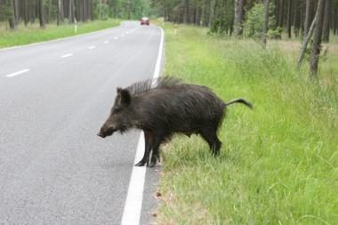 V. Mazuronis: Lietuva skatina medžioti šernus