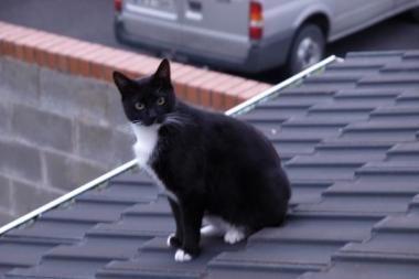 Augintinių konkurso laimėtojas - katinas, kuris gyvena Airijoje