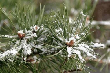 Prieš Kalėdas visoje Lietuvoje urėdai nemokamai dalys eglių šakas