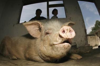 Siūlo riboti gyvulių kiekius savivaldybėse