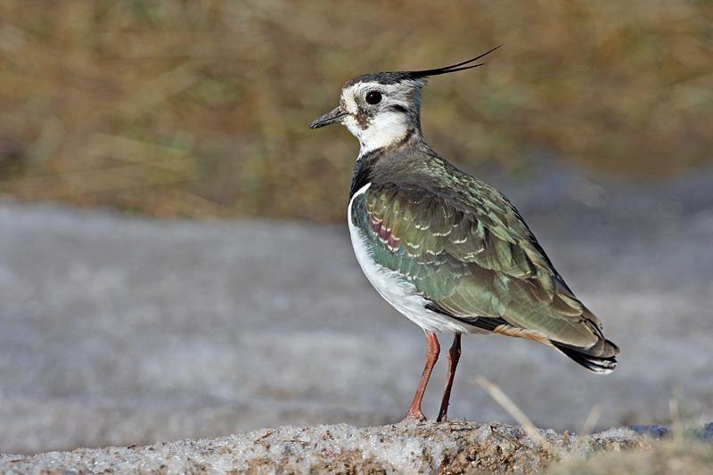 Ornitologija: pempė - bundančios gamtos pranašas