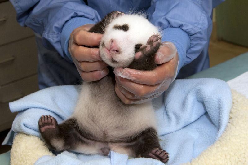 Zoologijos sode nugaišo prieš savaitę atvestas pandos jauniklis