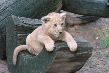 Lietuvos zoologijos sode gimė liūtukas