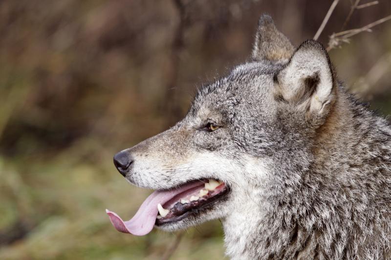 Teismas patenkino skundą – vilkų medžioklė atnaujinama
