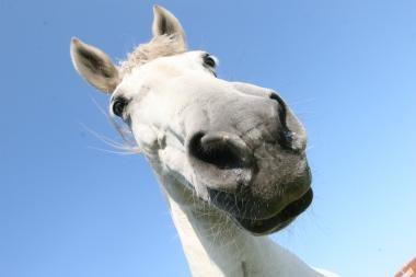 Knygą apie žirgus pristatys žirgai