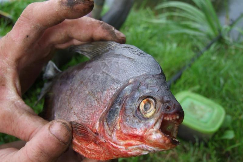 Meškeriotojas Nemune pagavo amazoninę piraniją