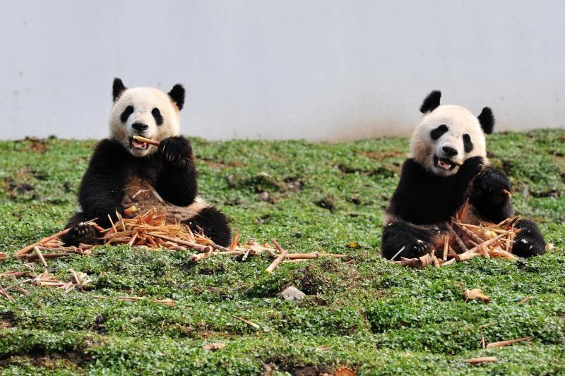 Keli įdomūs faktai apie pandas (foto)