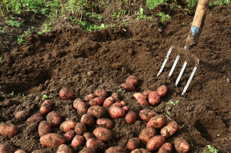 Kurį laiką teks apsieiti       be bulvių?