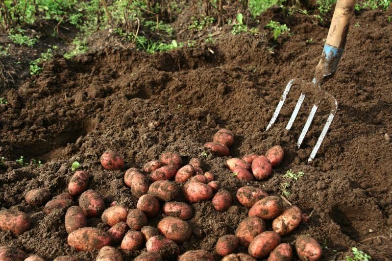 Ūkininkai dėl savo kaltės praranda dalį bulvių derliaus