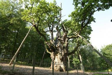 Tūkstantmečio ąžuolynas skendi žolėse