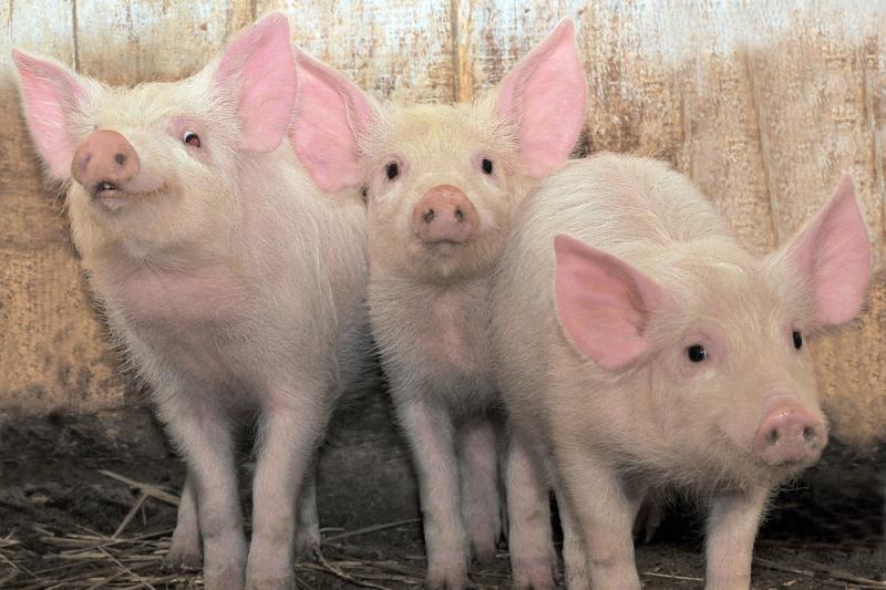 Lietuvoje pradedami organizuoti glamūriniai vakarėliai kiaulėms