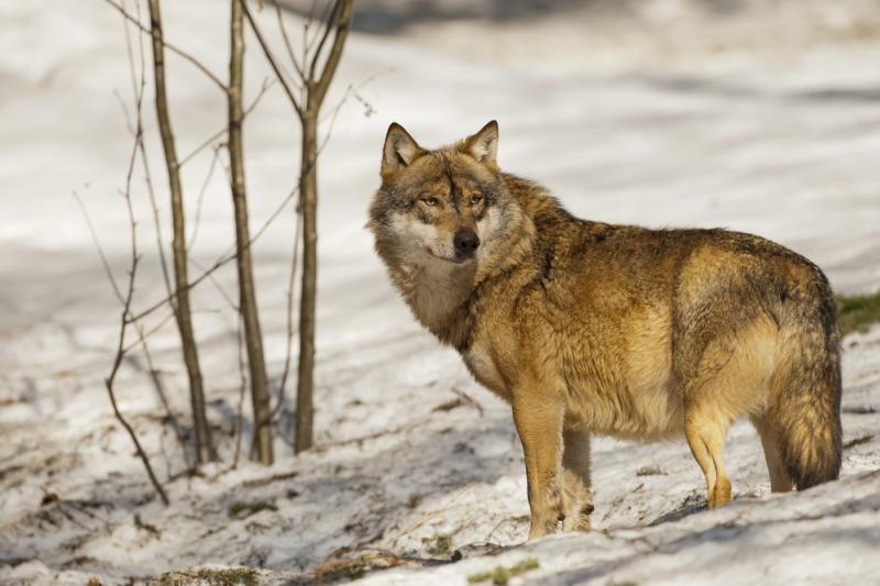 Nušovus 45 vilkus, ministras nutraukė šių plėšrūnų medžioklės sezoną