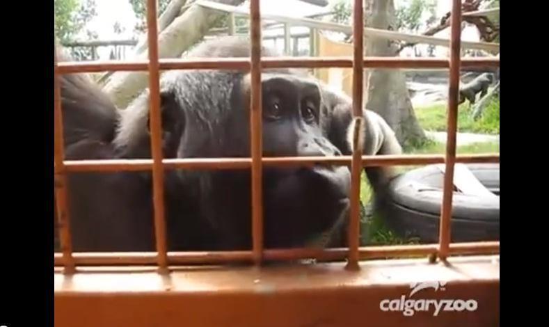 Neįtikėtinas gyvūnų elgesys: gorila grožisi vikšru