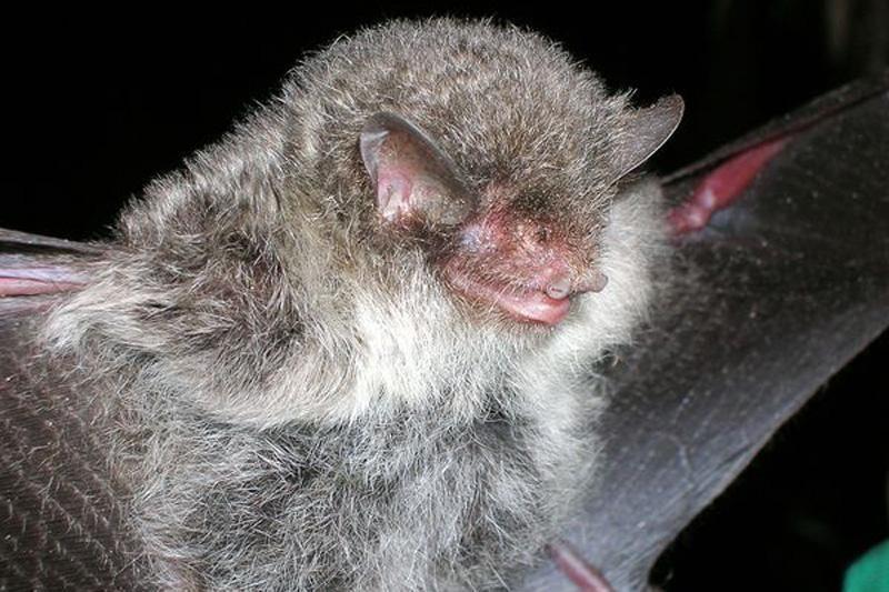 Paukščių ir kiaulių gripą gali pakeisti šikšnosparnių gripas?