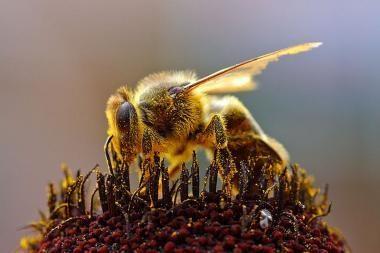 Bitės atneša naudos už milijardus eurų