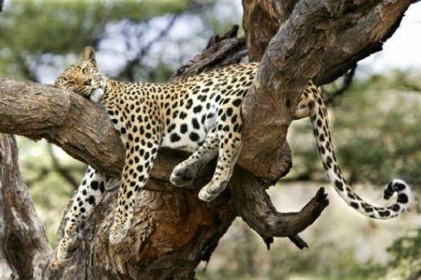 Primorėje užsiliepsnojo draustinis su nykstančiais leopardais