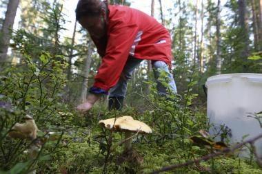 Ar saugu valgyti lietuviškus grybus?