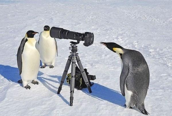 Naujojoje Zelandijoje gyveno grakštūs ir aukšti pingvinai
