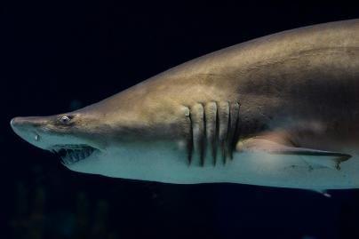 Veterinaras išgelbėjo kablį prarijusį ryklį