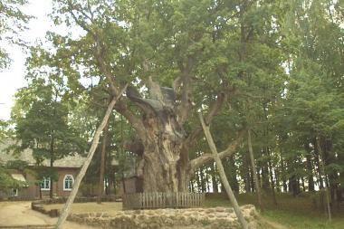 Bus sutvarkyti medžiai senoliai