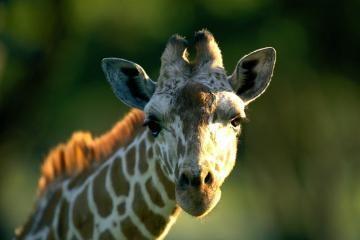 Zoologijos sode pasikorė žirafa