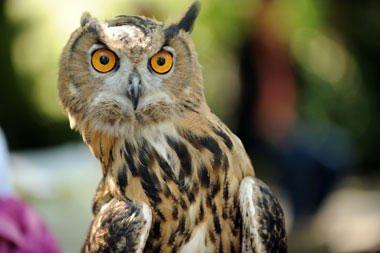 Naminiais gyvūnėliais vis dažniau paverčiami plėšrieji paukščiai